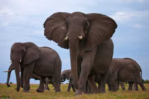 Elephant Poaching Stabilizes, But Number Are Still Declining